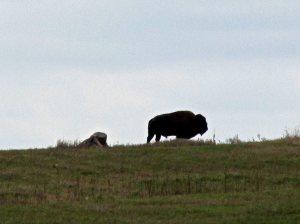 cindy-bison014