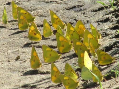 sulphur butterflies 2014 NG