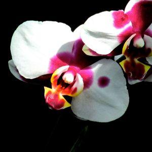 clown orchid 2015