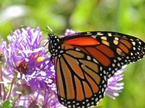 MA-monarch