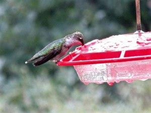 hummingbird-sept2015