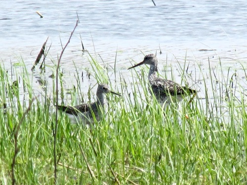 Greater yellowlegs NG 2016.jpg