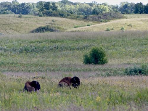 Bison bison 2