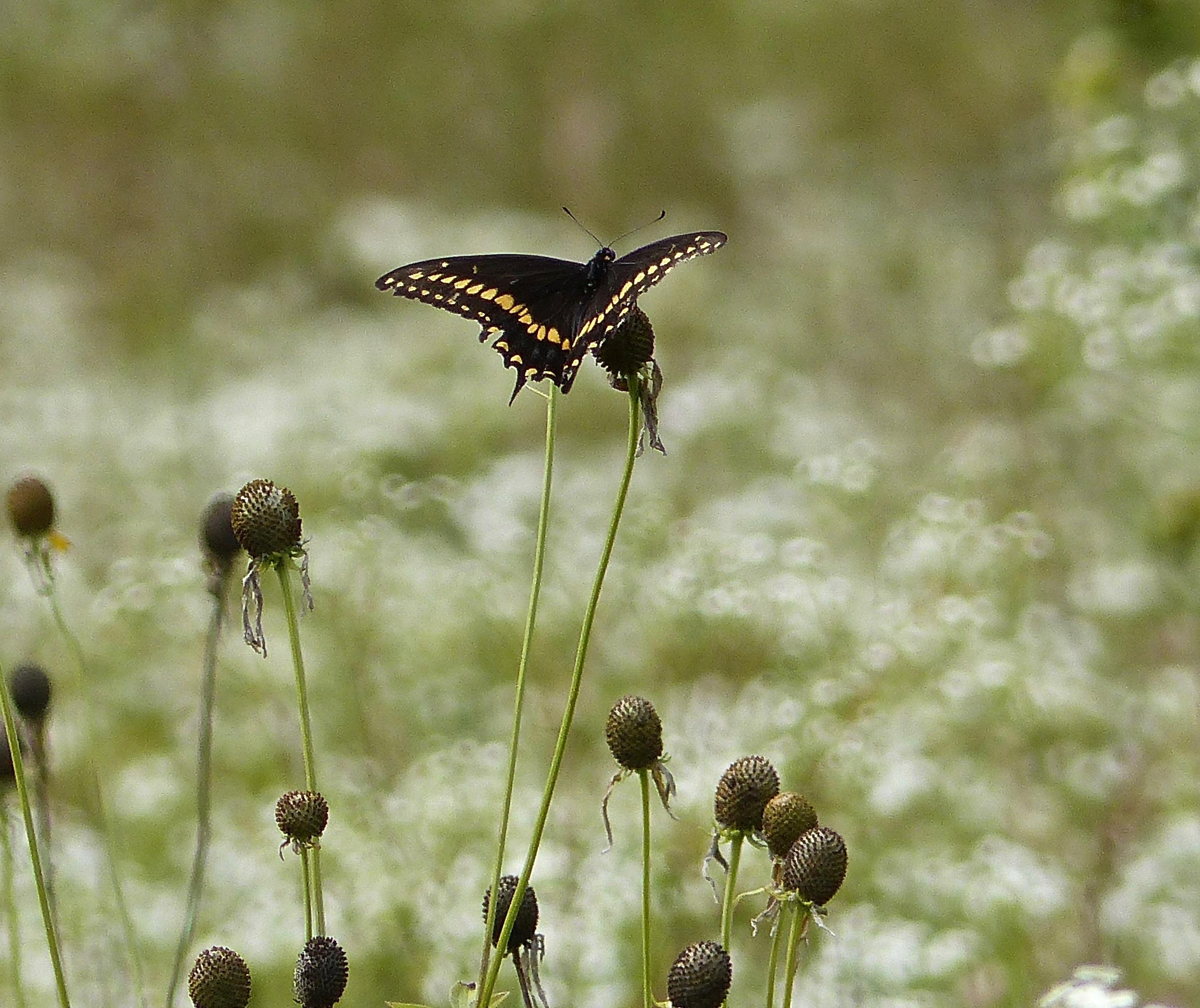Black Swallowtail NG816