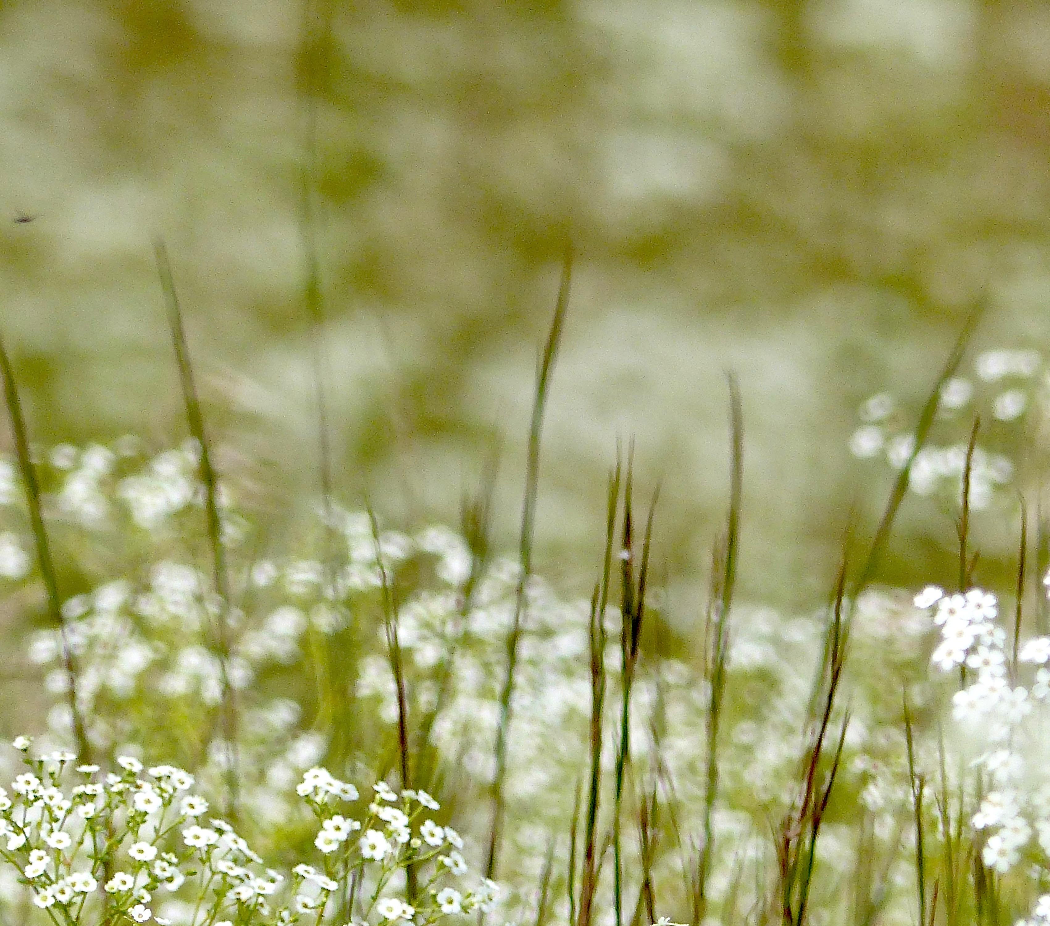 Little bluestemandfloweringspurge816 NG