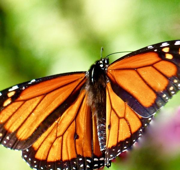 Monarch 816 My backyard