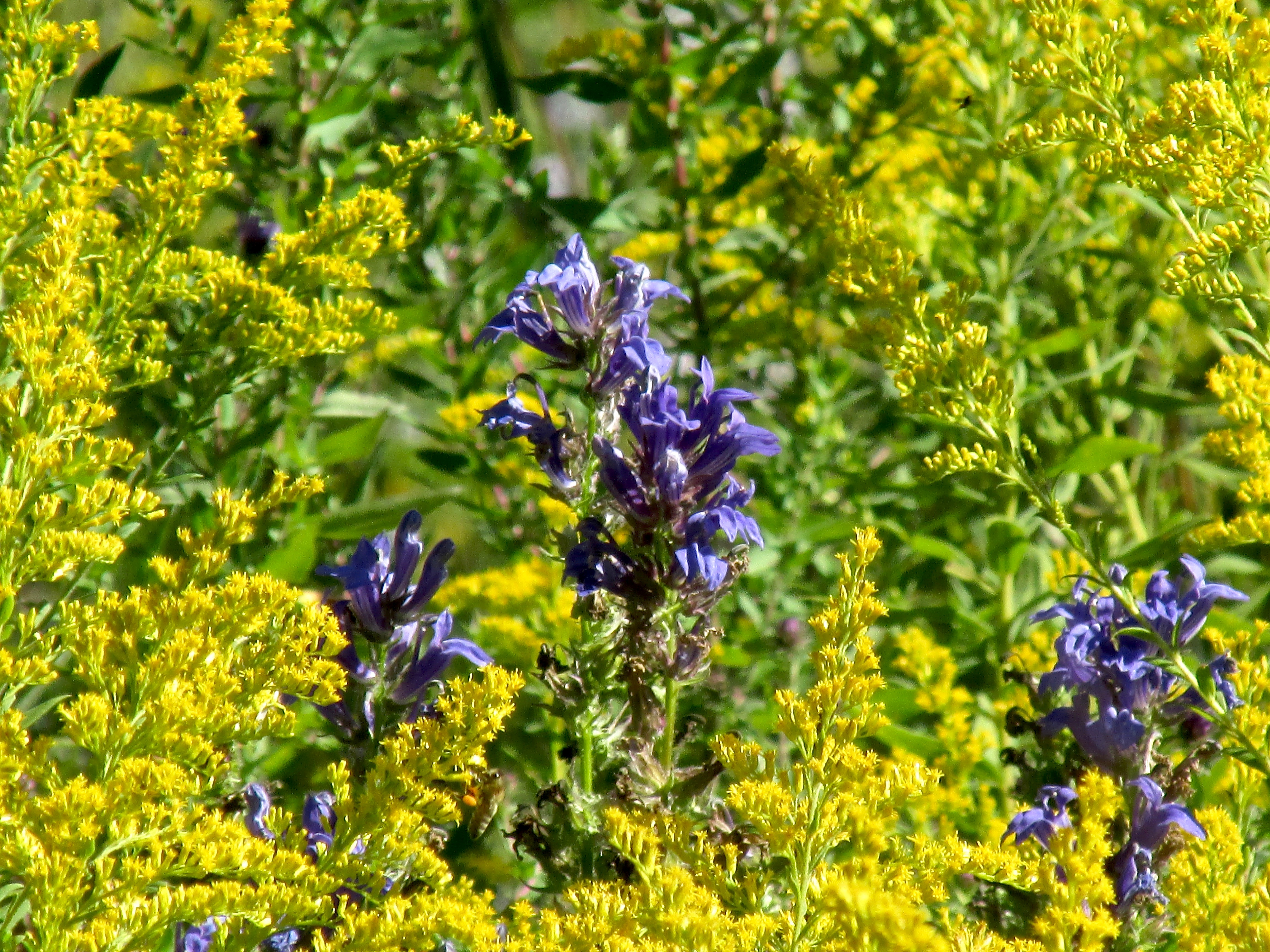 goldenrod-and-great-blue-lobelia-tma-916