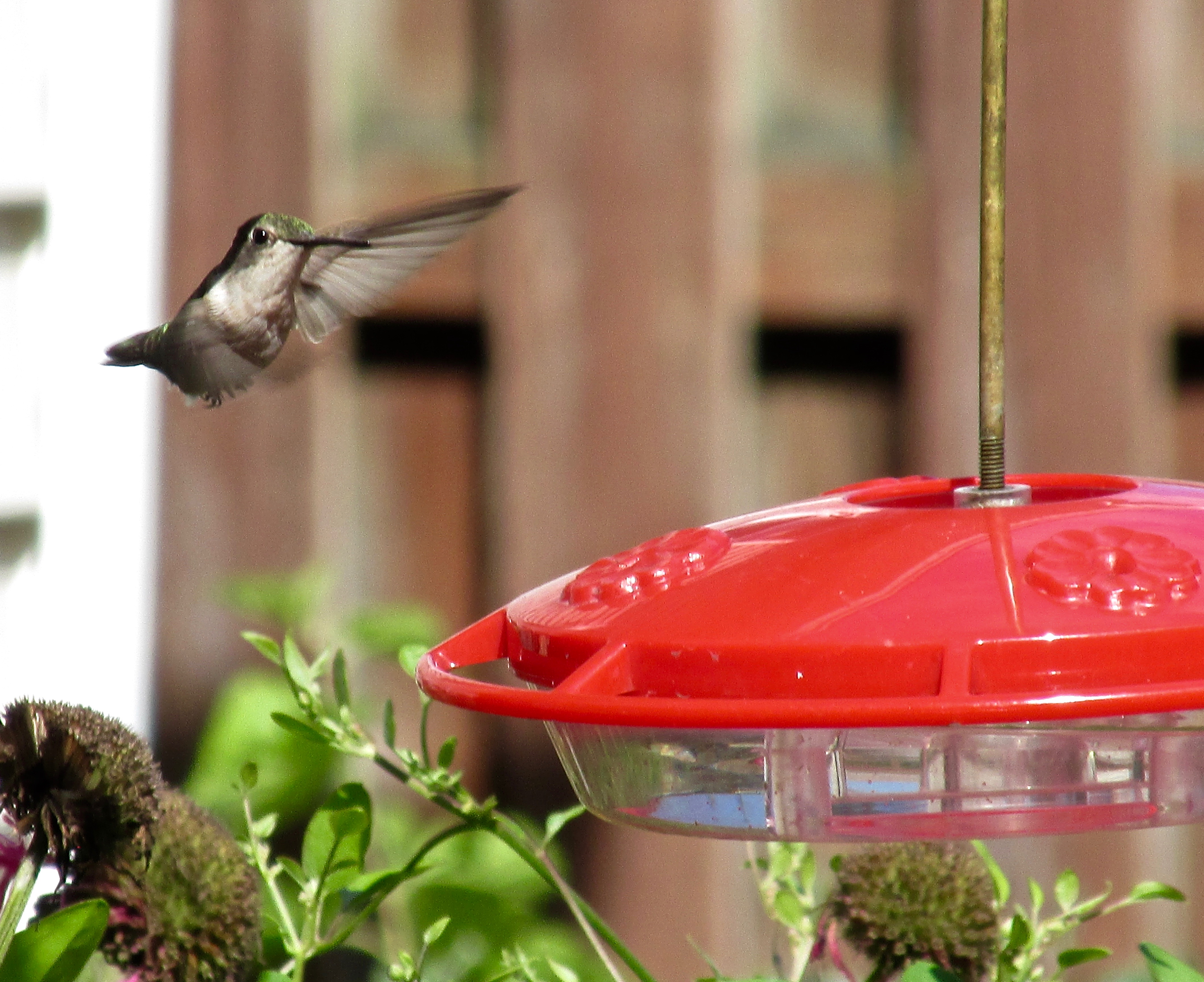 hummingbird-backyard-ge-916