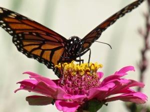 monarch-backyard-ge-916