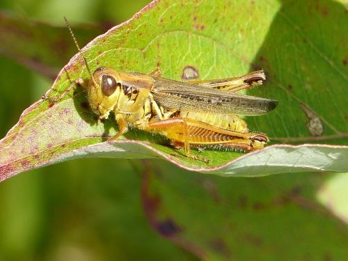ng-grasshopper-916