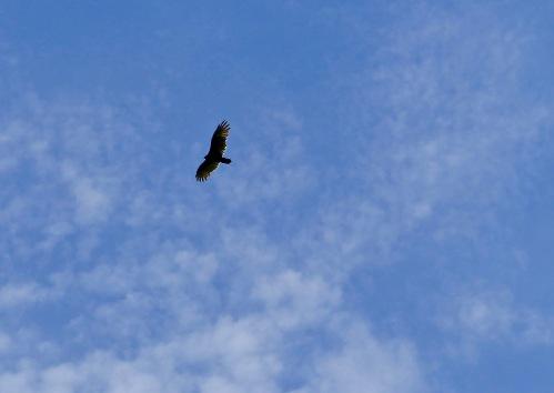 turkey-vulture-ng-916