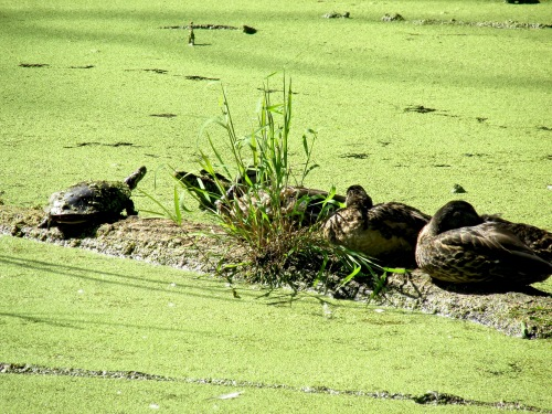 turtles-and-mallards-916