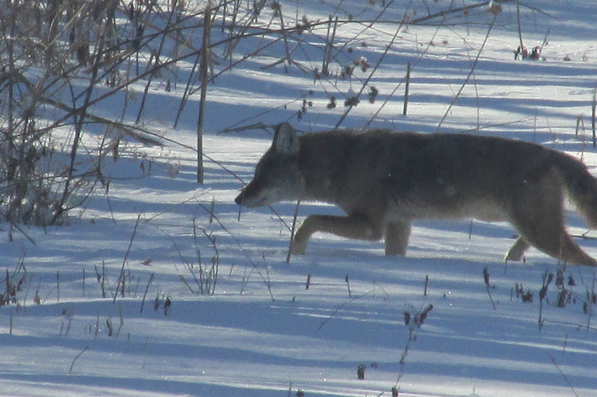 Coyote might hunter of mice! Hidden Lake.jpg