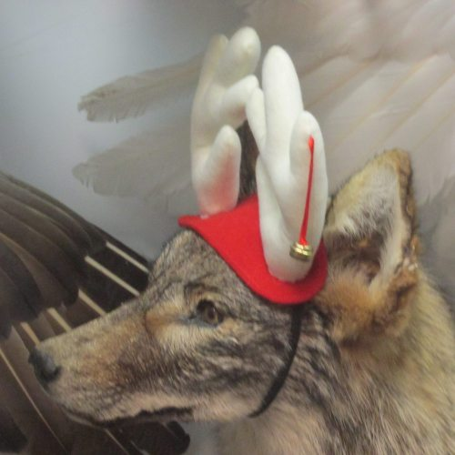 festive holiday coyote.jpg