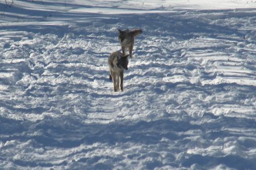 Two coyotes at Hidden Lake.jpg