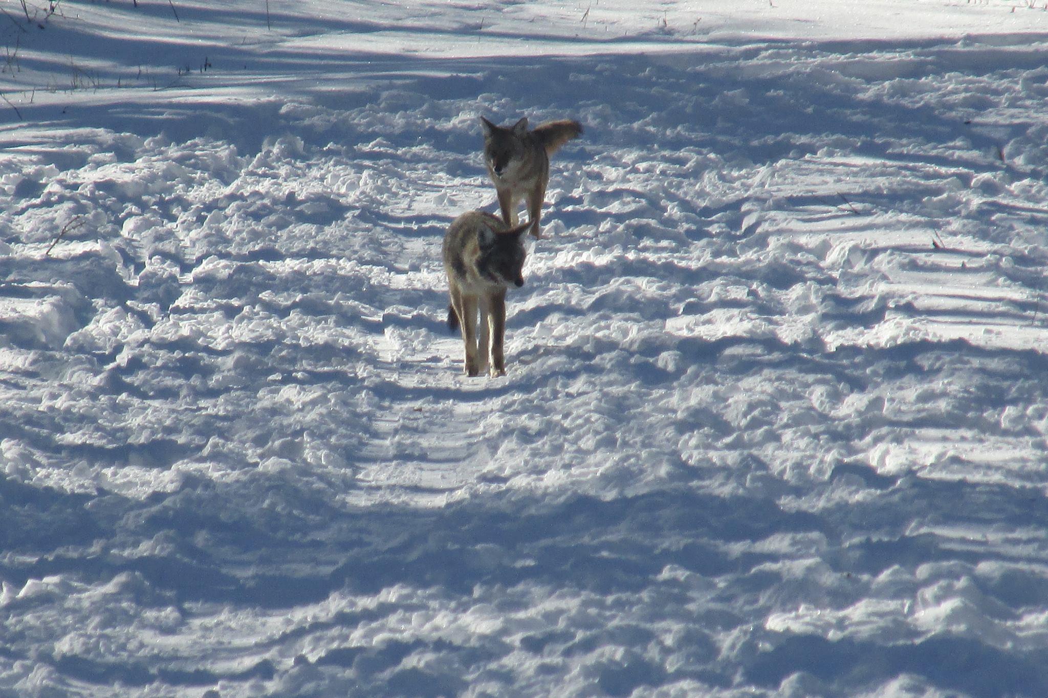 Two coyotes at Hidden Lake.jpg