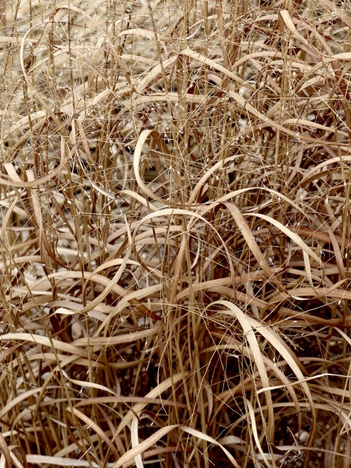 glenbard-south-prairie-switchgrass-ribbons-217