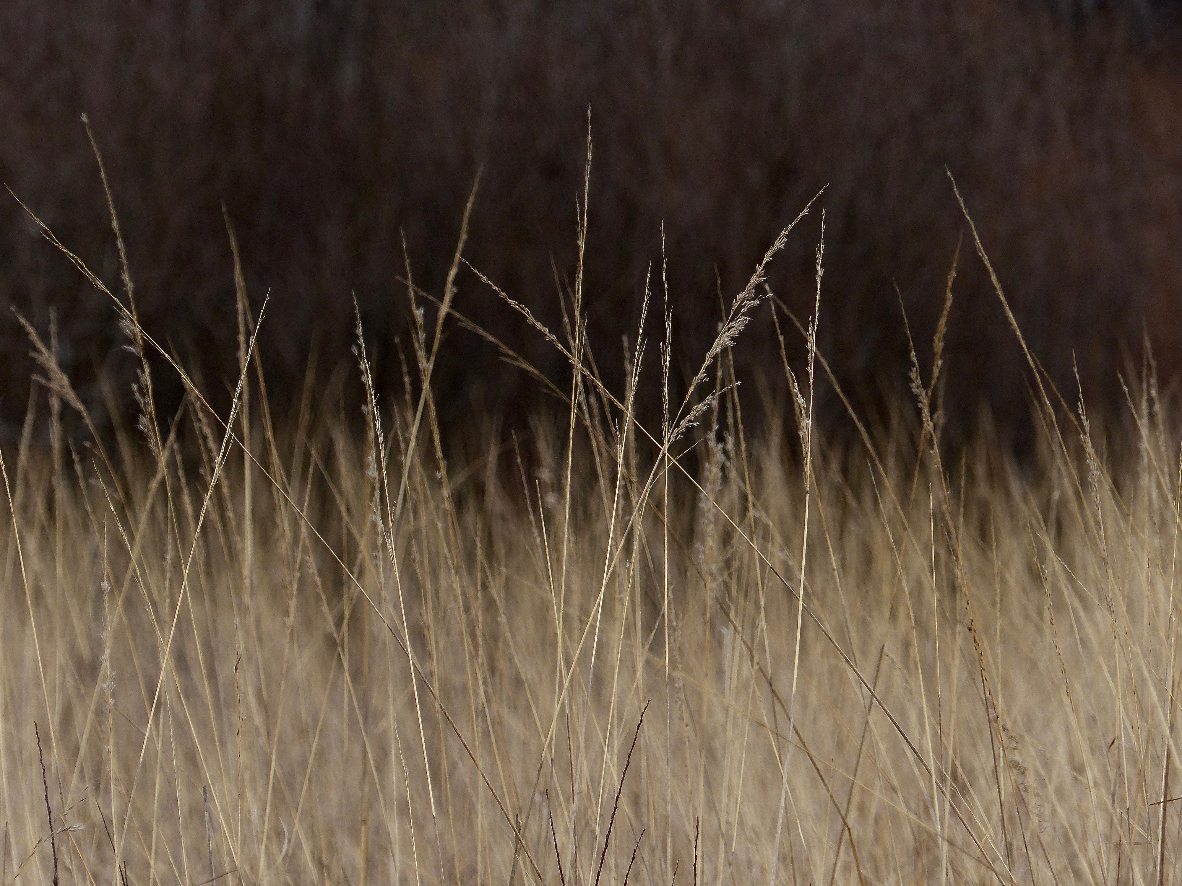 Timber Ridge Forest Preserve Indian Grass 217.jpg