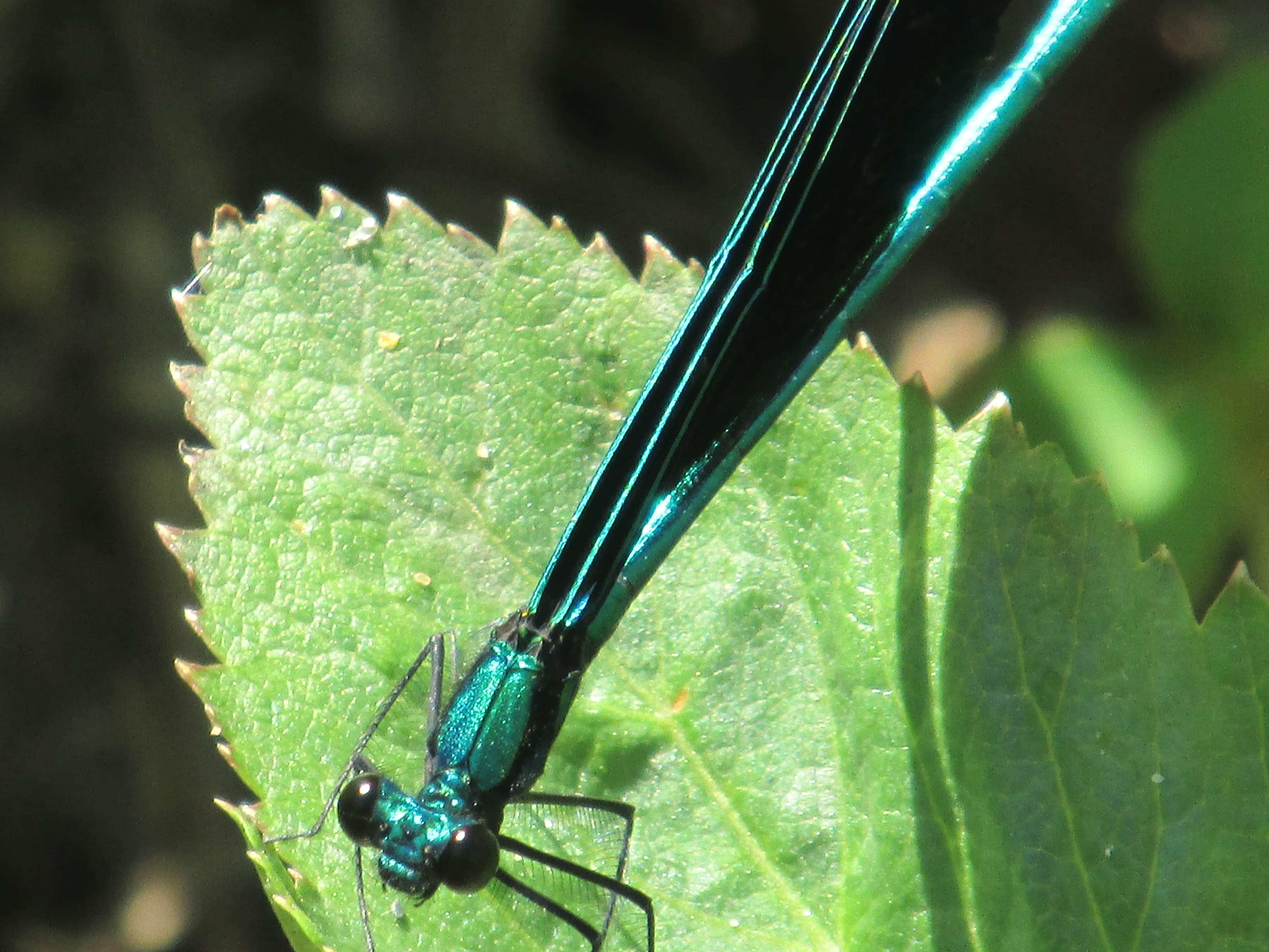 NG Ebony Jewelwing 2014.JPG