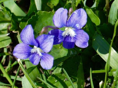 bluevioletNG417.jpg