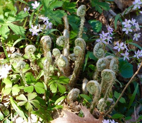 springwildflowersandfernsFCSP41717.jpg