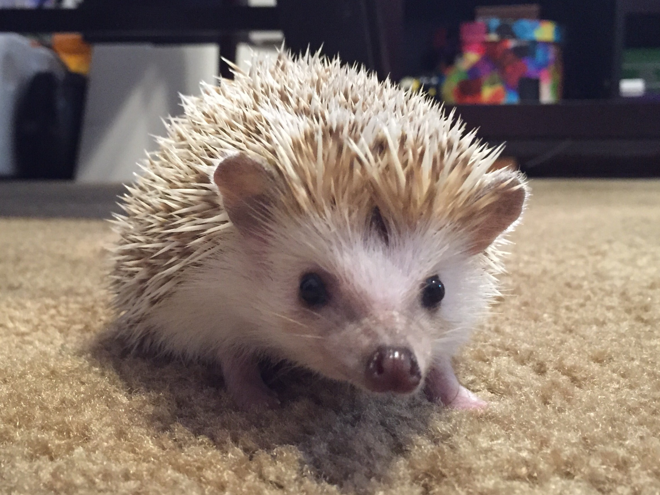 Kim Engles White Hedgehog photo.JPG