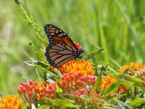 Monarch on butterflyweed617