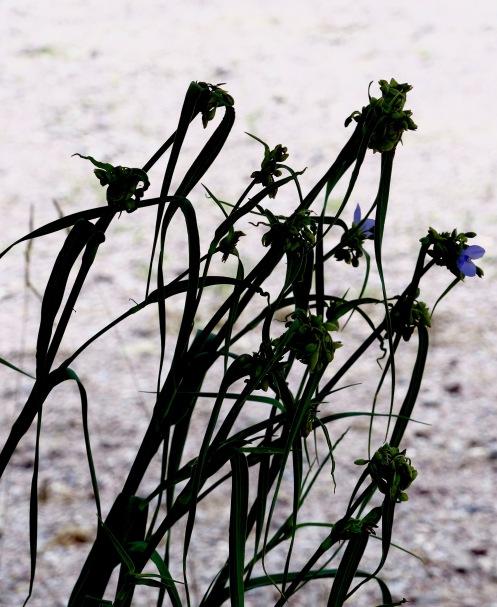 Spiderwort617AldoLeopoldcenter.jpg