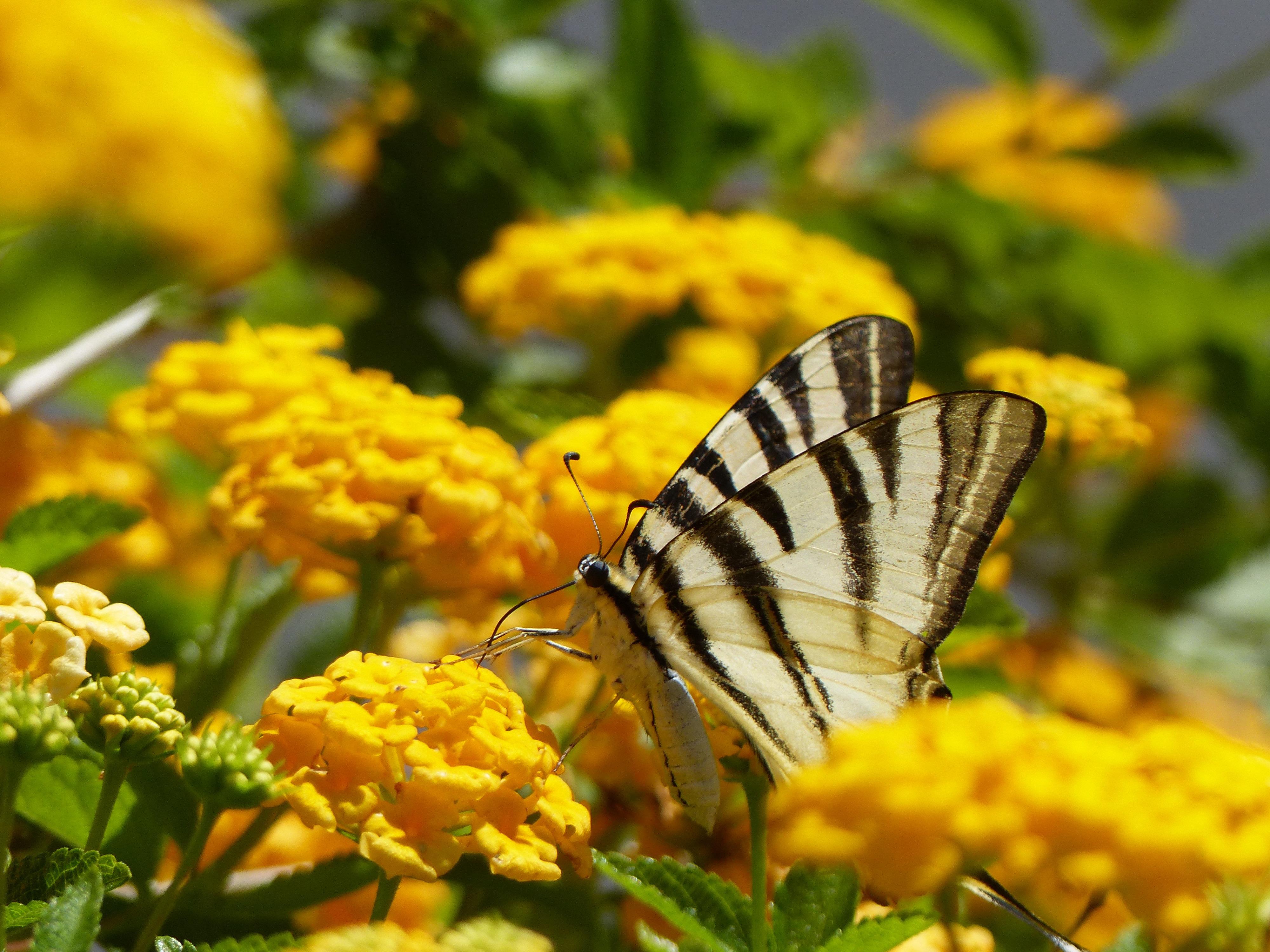 Scarce Swallowtail Caronia Sicily 72017.jpg