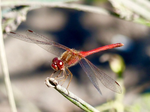 Autumn Meadowhawk917NG.jpg