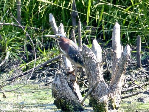 Green heron NG91017.jpg