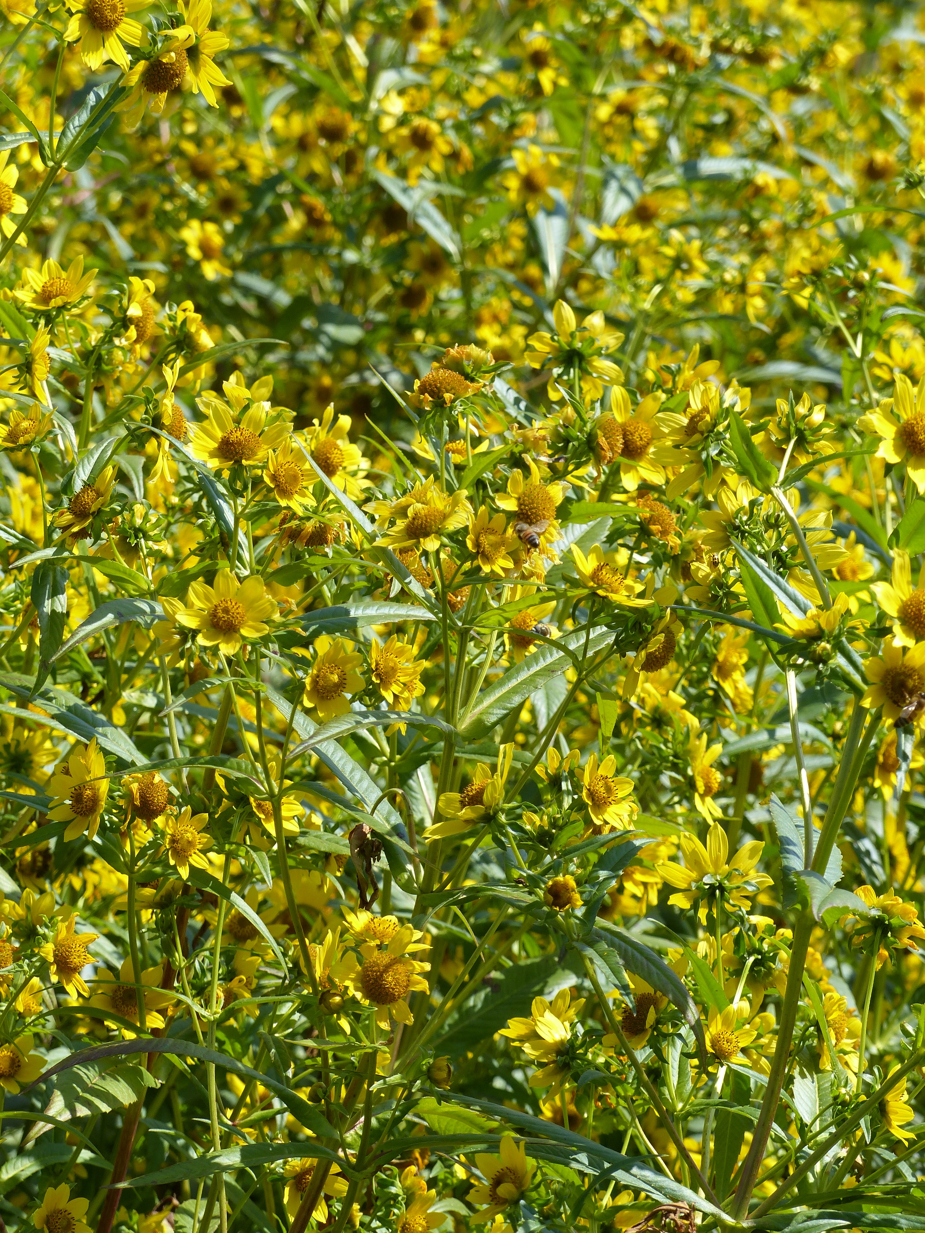 NG bur marigold 917.jpg