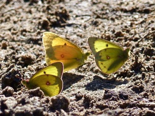 NGbutterflies.jpg