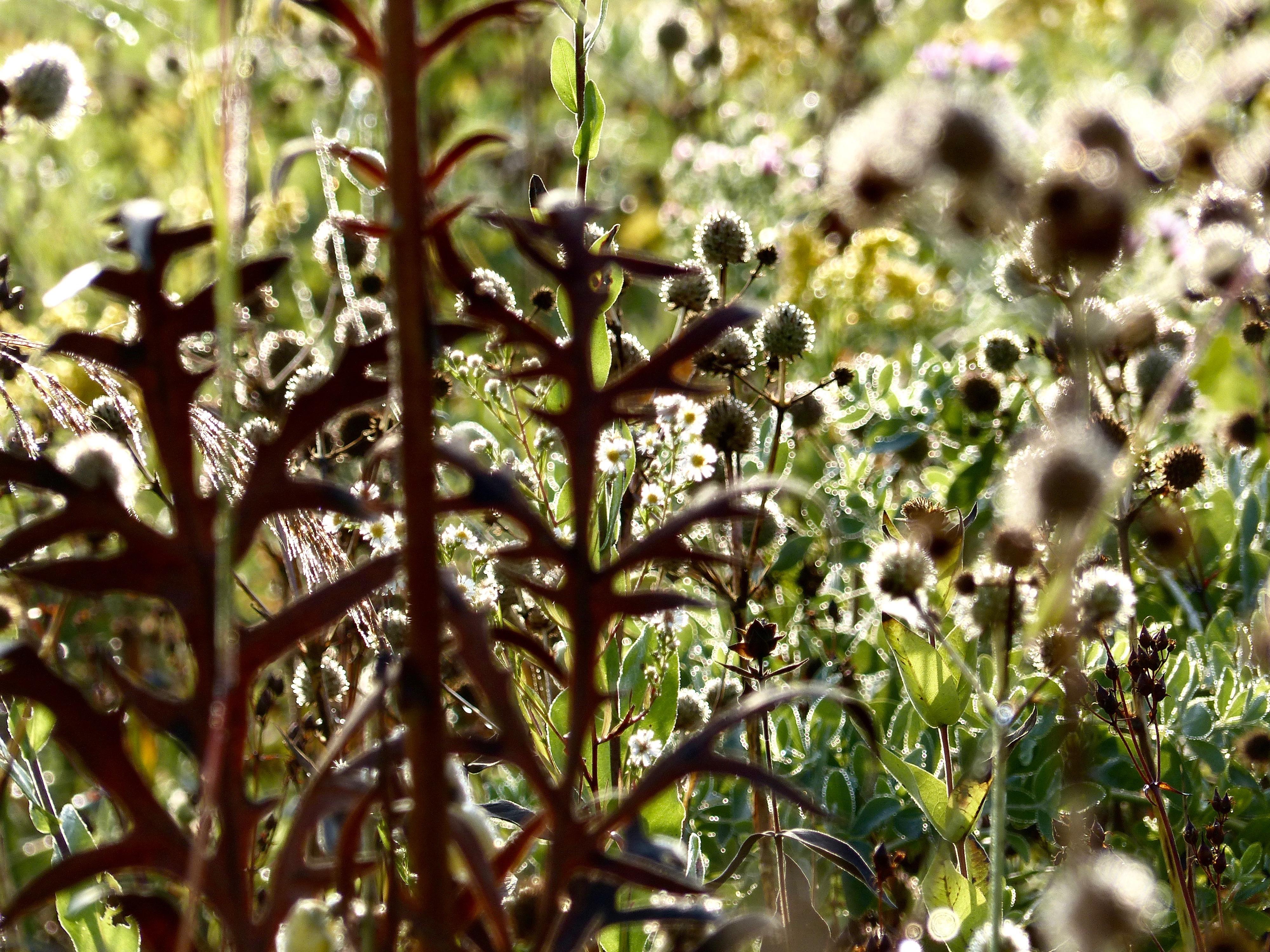 Taltreecompassplantrattlesnake917.jpg