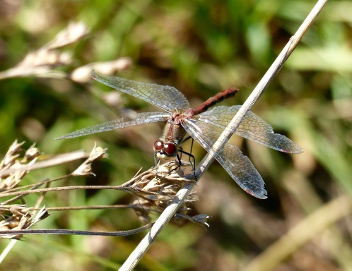 whitefaced meadowhawk91017.jpg