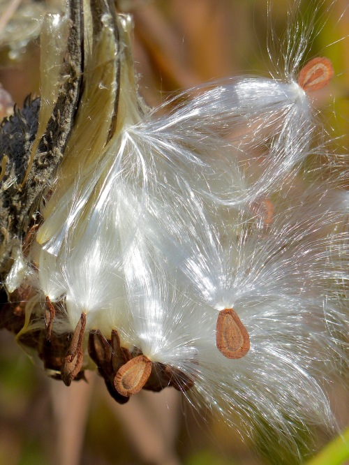 commonmilkweedSPMA1017.jpg