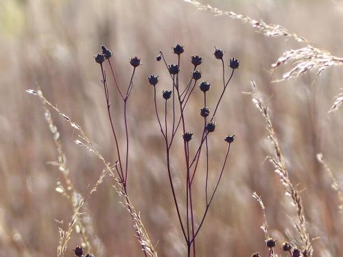 tallcoreopsisspma1017.jpg