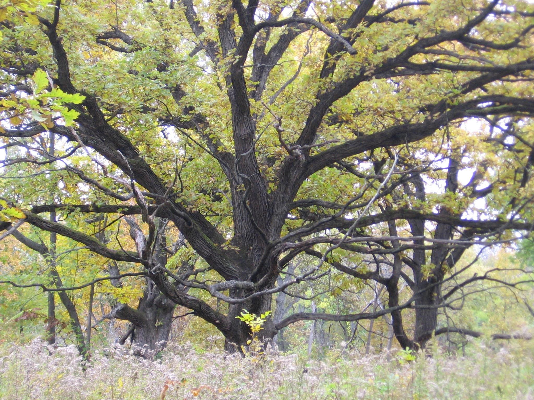 Midewin savanna 2012.jpg
