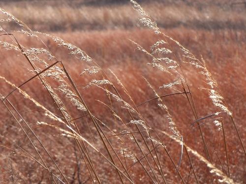 IndiangrassNachusa1211617.jpg