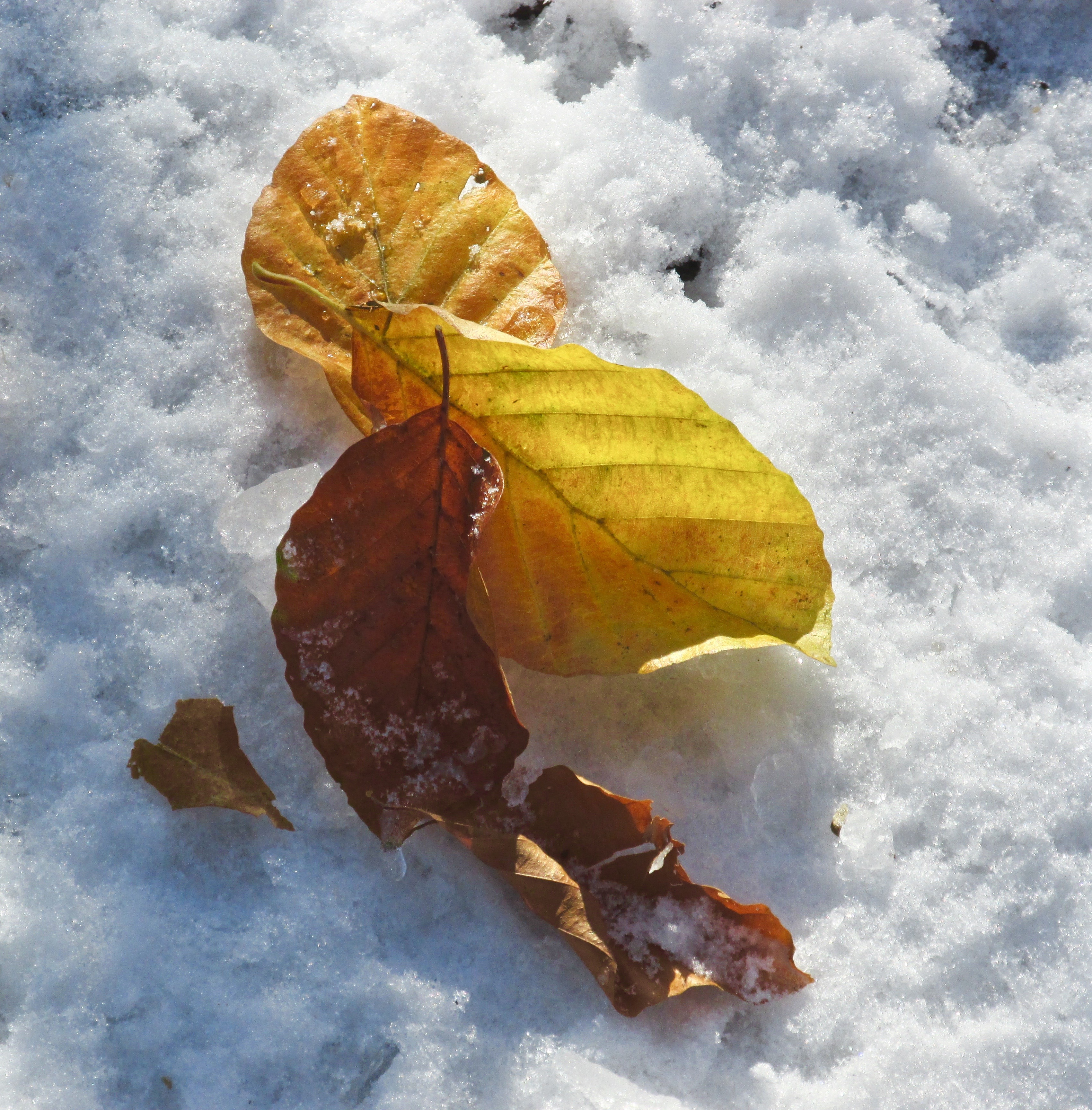 leaves on snow.jpg