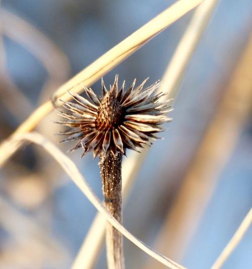 palepurpleconeflower-belmontprairie118