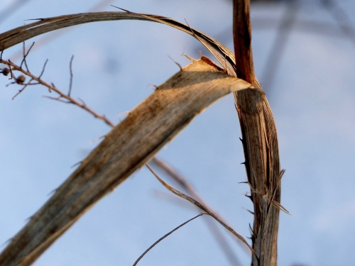 rattlesnakemaster-belmontprairie1418.jpg