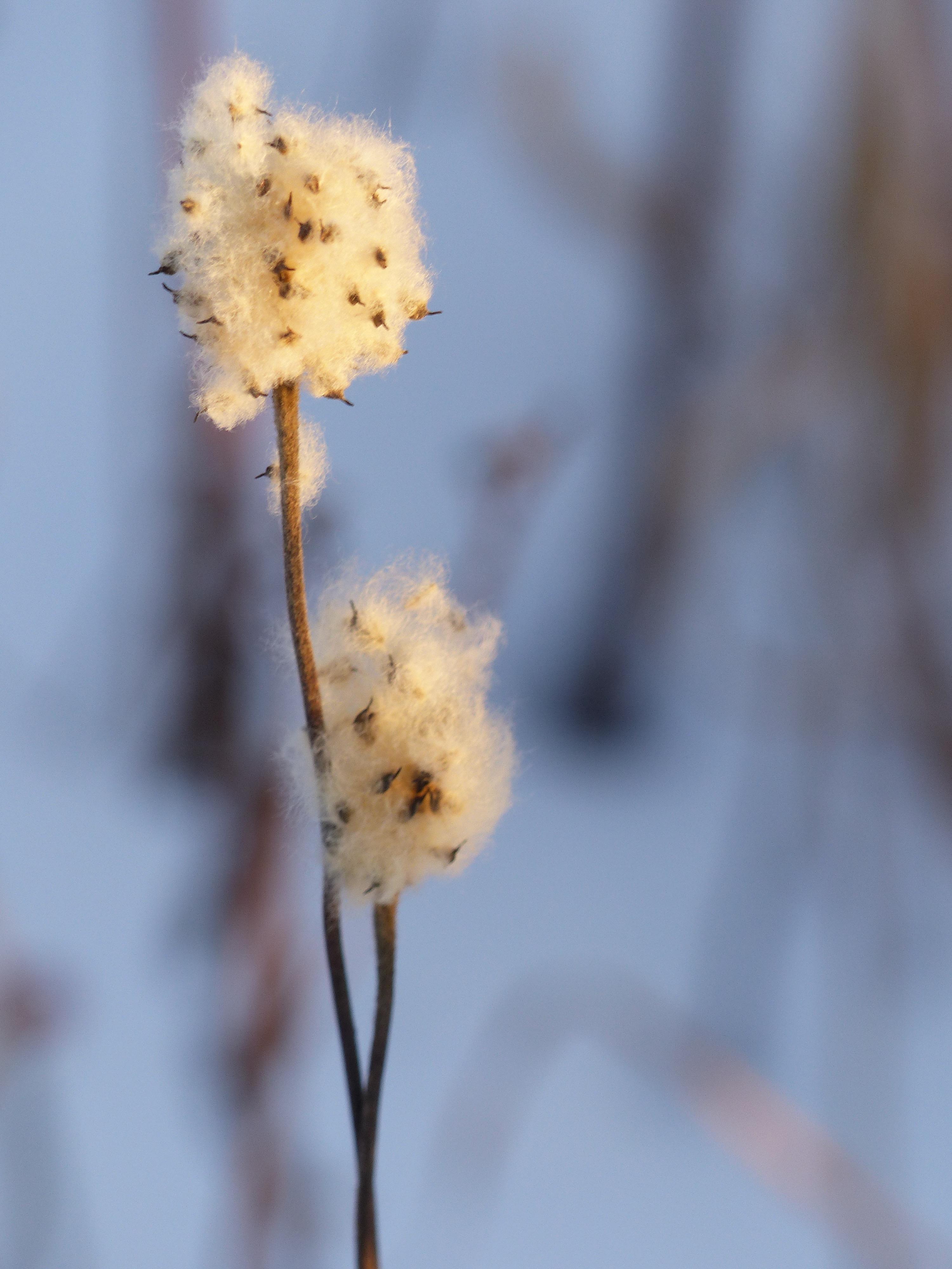 Thimbleweed-belmontprairie118.jpg