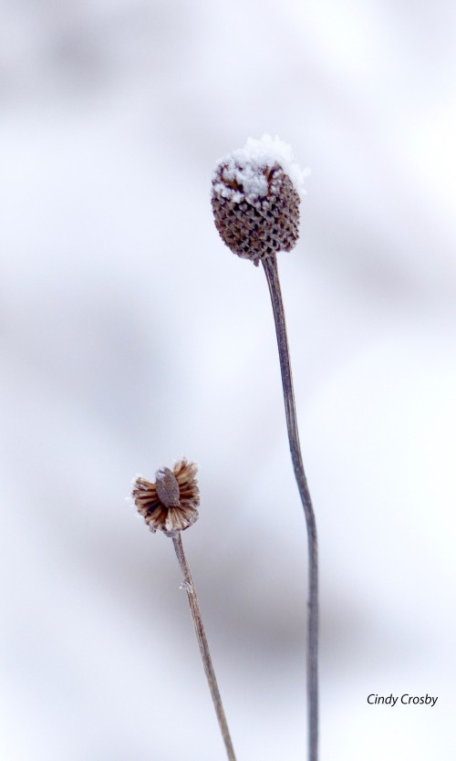 Belmontprairie-grayconeflower21818 copy.jpg