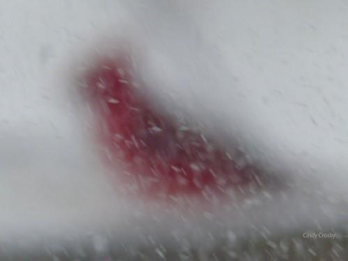 Cardinal in a snowstorm 218 copy.jpg