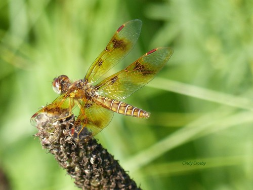 EasternamberwingSPMAdragonfly copy