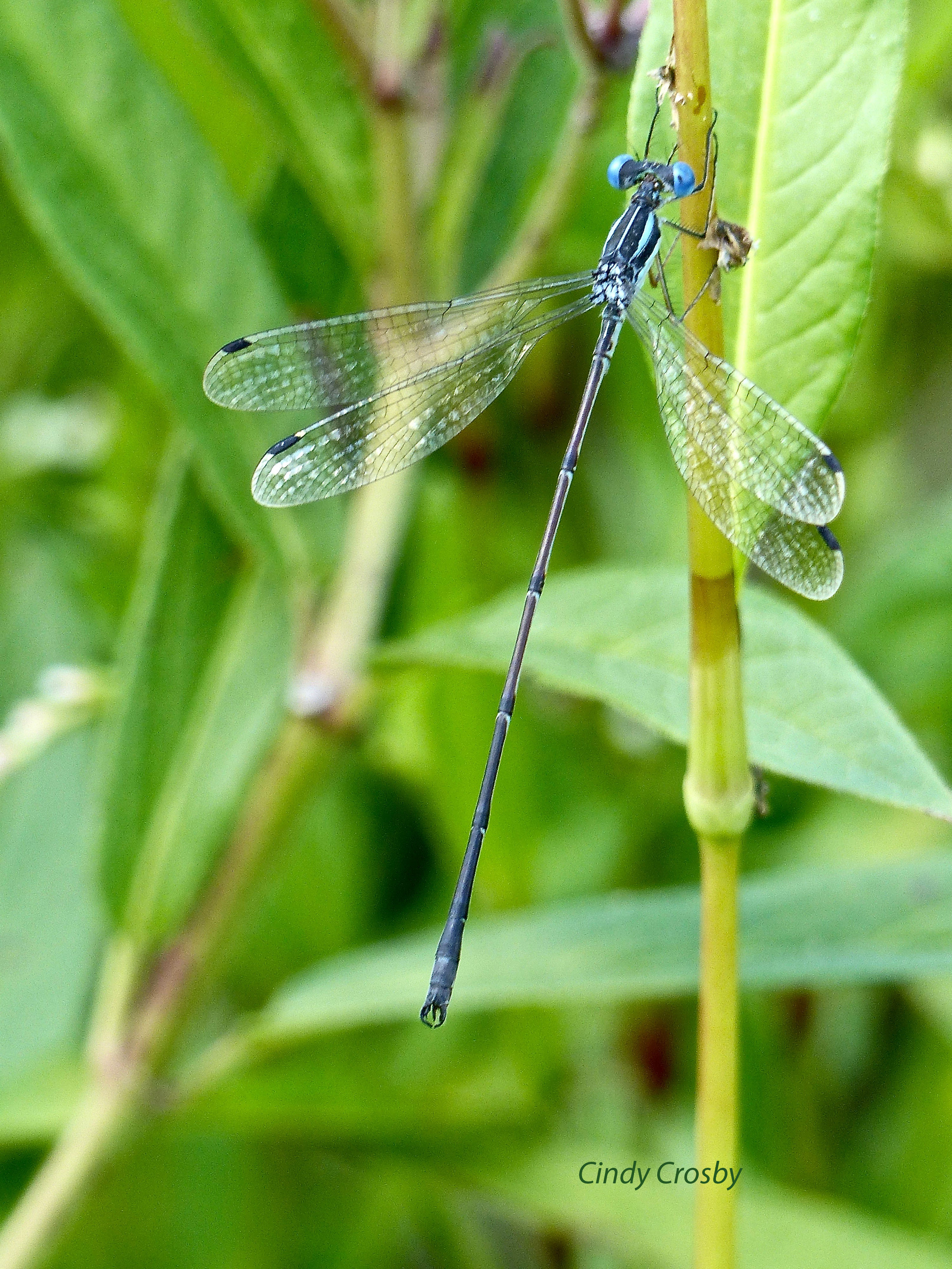 Nomia Slender Spreadwing 8717watermarked.jpg