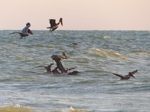 pelicanssanibelcaptivasunset318.jpg
