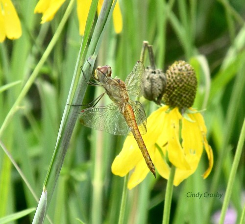Wandering Glider -SP72316watermarked.jpg