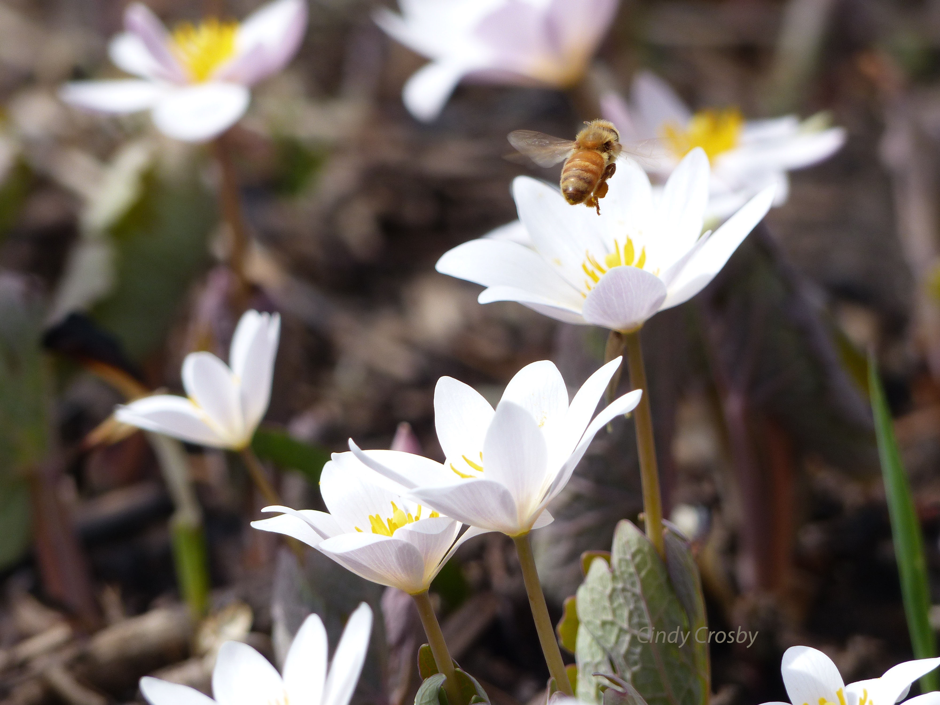honeybeebloodrootSPMA42618wm.jpg
